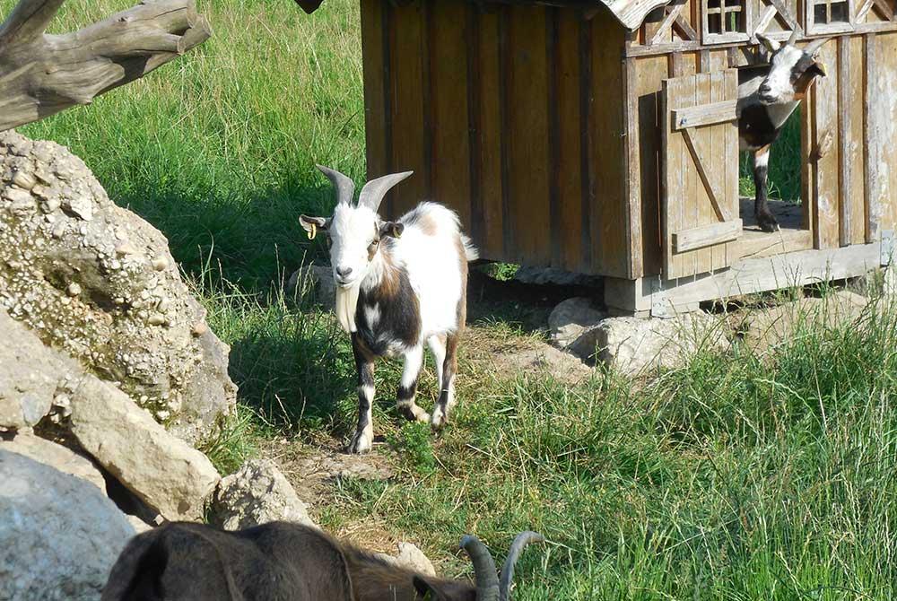 Im Streichelzoo auf dem Arterhof bei Bad Birnbach gibt es einige Ziegen.